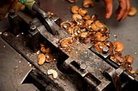 Cutting cashew seeds with help of hand operated mechanical steel device in factory , Konkan region , Maharashtra , India