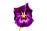 isolated viola flower