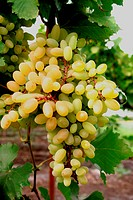Grapes hanging in farm at Tasgaon ; Dist. Sangli ; Maharashtra ; India