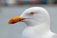 British seagull bird close up,