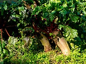 Beetroot in soil organic farming