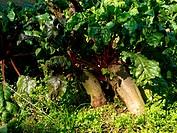 Beetroot in soil organic farming