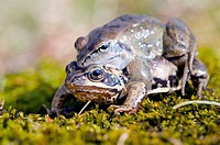 frogs make love. Frog mating time in spring.
