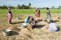 Groundnut harvesting near Vadalur ; Tamil Nadu ; India