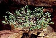 Bushman's candle (Sarcocaulon vanderietiae), Cactaceae.