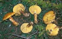 Examples of Larch Bolete (Boletus elegans), Boletaceae.