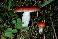 The Sickener (Russula emetica), Russulaceae.