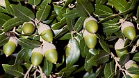 Leaves and acorns of Holm Oak or Holly Oak (Quercus ilex), Fagaceae.