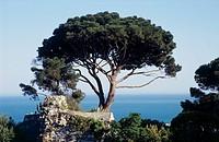 Aleppo Pine (Pinus halepensis), Pinaceae.