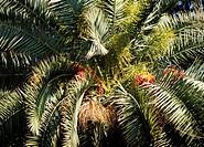 Date palm (Phoenix dactylifera), Arecaceae. Detail.