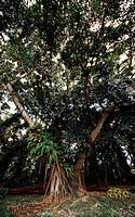 Ficus, Moraceae.
