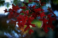 Scarlet Oak leaves (Quercus coccinea), Fagaceae.