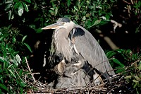 Portrait of a Great Blue Heron, Ardea herodias, protecting its chicks