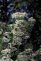 Flowering Black Locust branch (Robinia pseudoacacia), Fabaceae-Leguminosae.