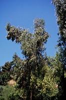 Eucalyptus, Myrtaceae.