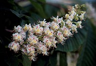 Horse-chestnut or Conker tree flowers (Aesculus hippocastanum), Sapindaceae.