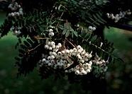 Rowan leaves and fruit (Sorbus prattii Subarachnoidea), Rosaceae.