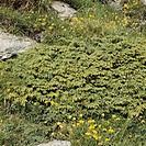 Savin Juniper (Juniperus sabina), Cupressaceae.