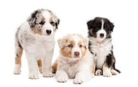 Three Australian Shepherd puppies