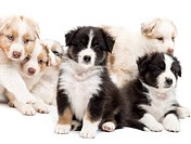 Australian Shepherd puppies sitting and lying