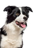 Close_up of a Border Collie