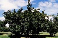 Common Medlar (Mespilus germanica), Rosaceae.
