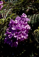 Leaves and flowers of Blue Jacaranda (Jacaranda mimosifolia), Bignoniaceae.
