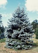 Hoop's Blue Spruce (Picea pungens Hoopsii), Pinaceae.