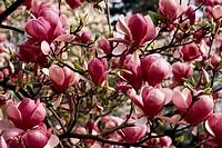 Magnolia flowers (Magnolia x soulangeana), Magnoliaceae.