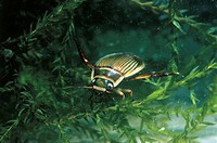 Great diving beetle (Dytiscus marginalis), Dytiscidae.