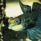 Mandarinfish or Mandarin dragonet (Synchiropus splendidus), Callionymidae. Detail.
