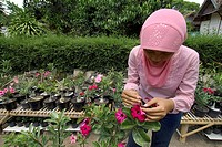 an indonesian woman impollinate an adenium plant  kraton district  yogyakarta  indonesia