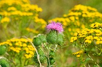 Thistle Carduus, surrounded by tansy Tanacetum vulgare.