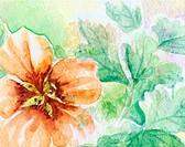 Flower nasturtium