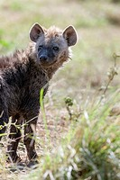 Spotted Hyena Crocuta crocuta also called Laughing Hyena, in the Maasa Mara  Portrait of a cub close to the den  Africa, East Africa, Kenya, Maasai Ma...