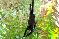 Howler monkey hanging in tree