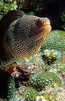 Black-spotted moray (Gymnothorax isingteena), Mauritius Island, Republic of Mauritius, Southwestern Indian Ocean