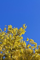 Yellow leaves and blue sky