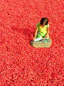 A girl studying in field of red chilly ; Mathania ; Jodhpur ; Rajasthan ; India
