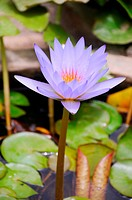 Star water lily or lotus nymphaea nouchali ; Rajasthan ; India