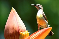 Birds ; purple rumped sunbird female nectarinia zeylonica collecting nectar ; Howrah ; West Bengal ; India