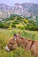 greece, cyclades, naxos: Village Apiranthos, donkey