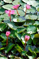 Lily with green leaves in pond , Jodhpur , Rajasthan , India