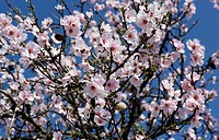 blooming almond tree with almonds
