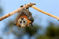 A Grey Headed Flying Fox, Pteropus poliocephalus, hanging from a branch  Bellingen Island, NSW, Australia  These bats are endemic to eastern Australia...