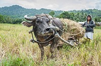 Woman with water buffalo collecting rice from the fields, Port Barton, Philippines