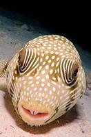 Mbu puffer, giant puffer, or giant freshwater puffer Tetraodon mbu Red Sea, Egypt, Africa