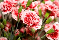 Beautiful carnation flowers or pinks