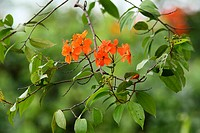 Flowering season for Saraca tree in Borneo, porbably scraca dedinata, Borneo