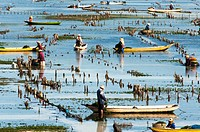 Asia, South-East Asia, Indonesia, Bali. Nusa Lembongan island. Harvesting of seaweed.